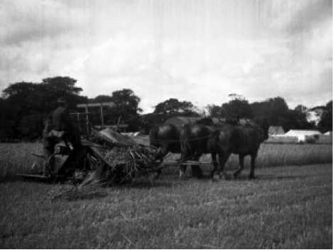 Harvesting grain with a three-horse reaper at Donaghmede about 1958 (Ian Elliott)